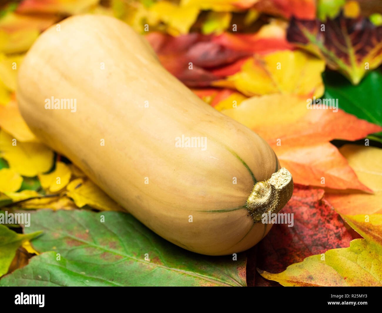 A butternut squash (seasonal vegetable) is placed on autumn leaves in green, red, orange and yellow colours. Close-up. Stock Photo