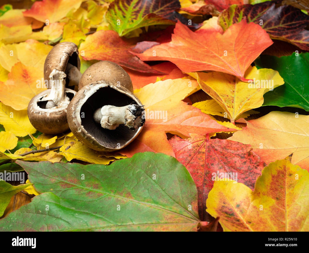 Mushrooms (seasonal vegetable) are placed on autumn leaves in green, red, orange and yellow colours. Close-up. Stock Photo