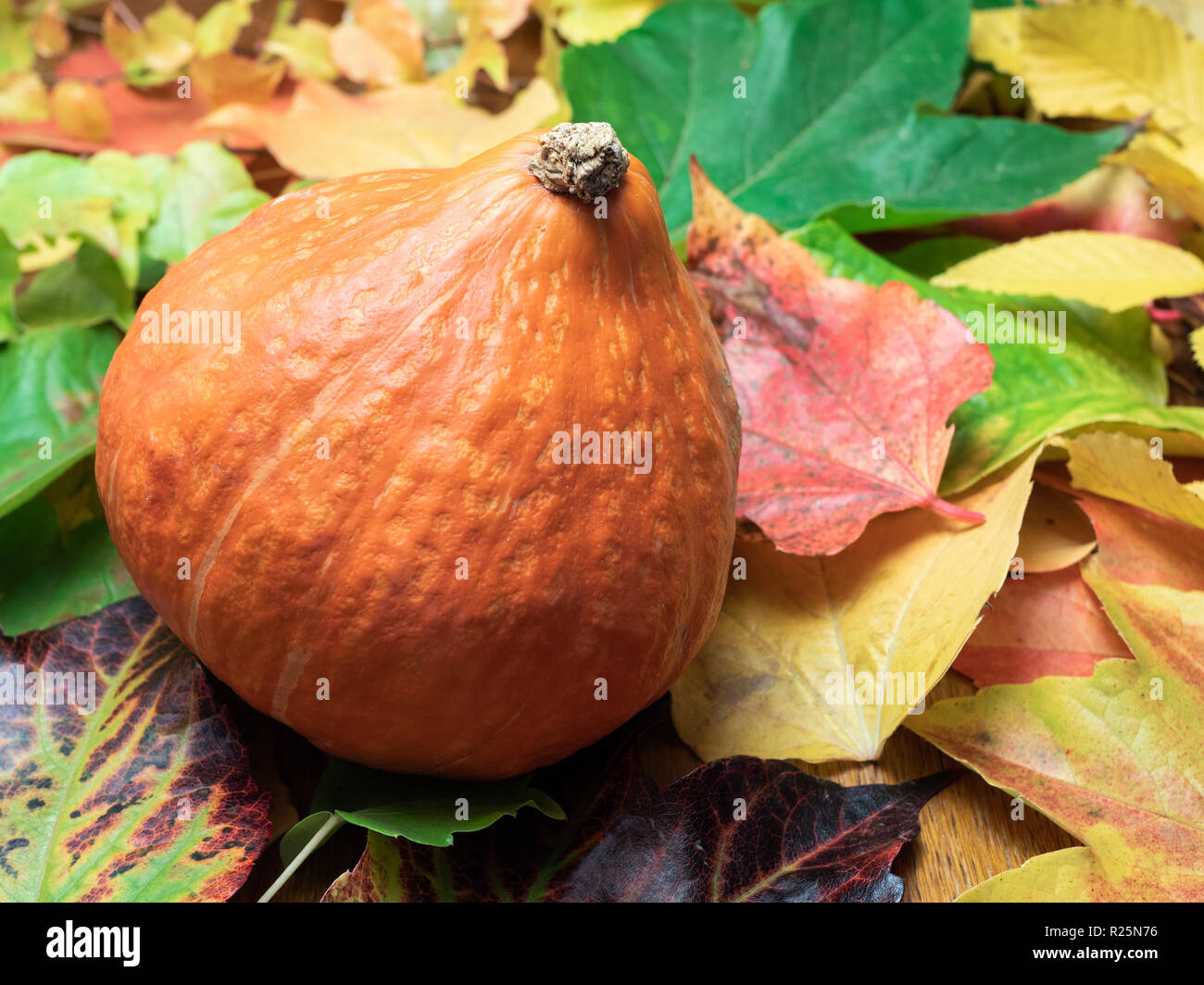 A Red kuri squash (seasonal vegetable) is placed on autumn leaves in green, red, orange and yellow colours. Close-up. Stock Photo