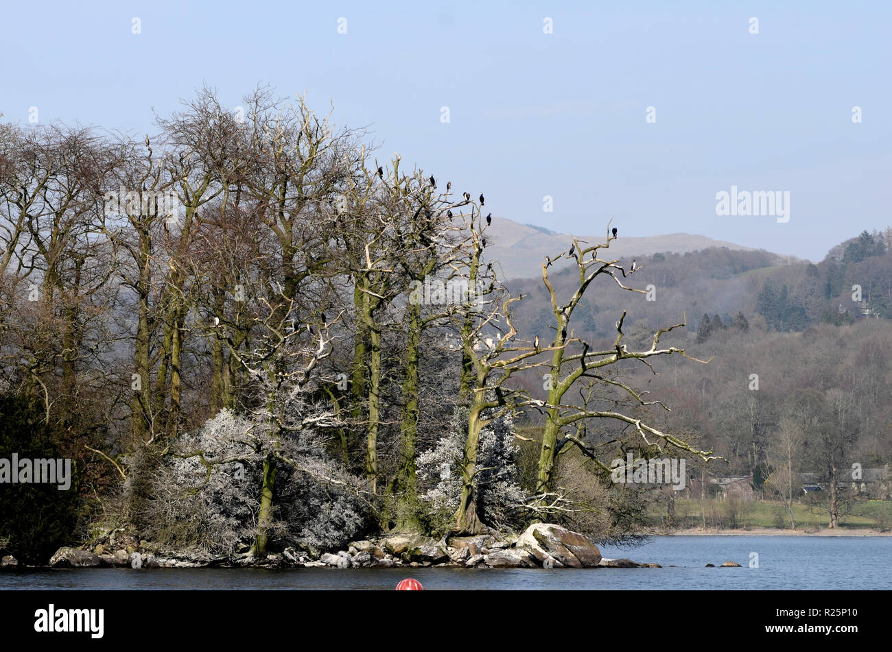 Cormorant colony in trees on Lady Holme island on Windermere in the Lake District, UK. - Stock Image