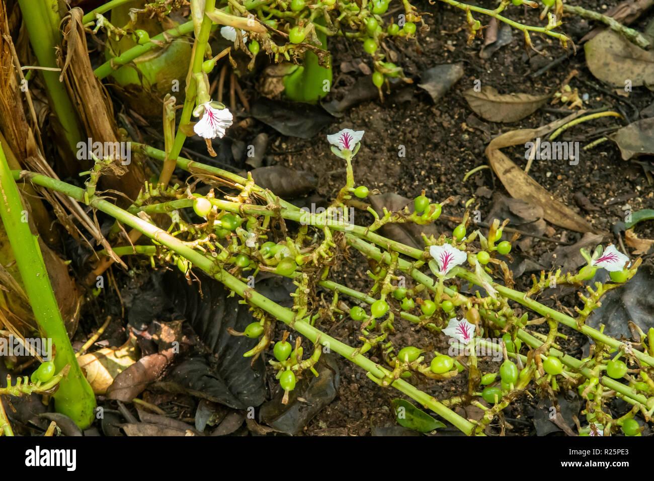 Elettaria cardamomum, Cardamom Flowers at Periyar, Kerala, India Stock Photo