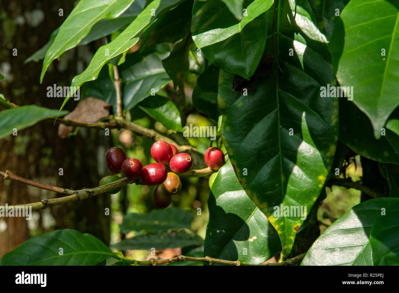 Coffea canephora, Robusta Coffee Beans at Periyar, Kerala, India - Stock Image