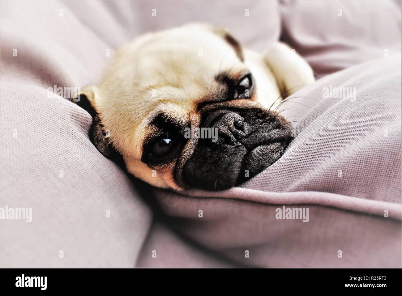Conceptual photo portraying 'Daydreaming',with a one year old, male Pug dog used. Stock Photo