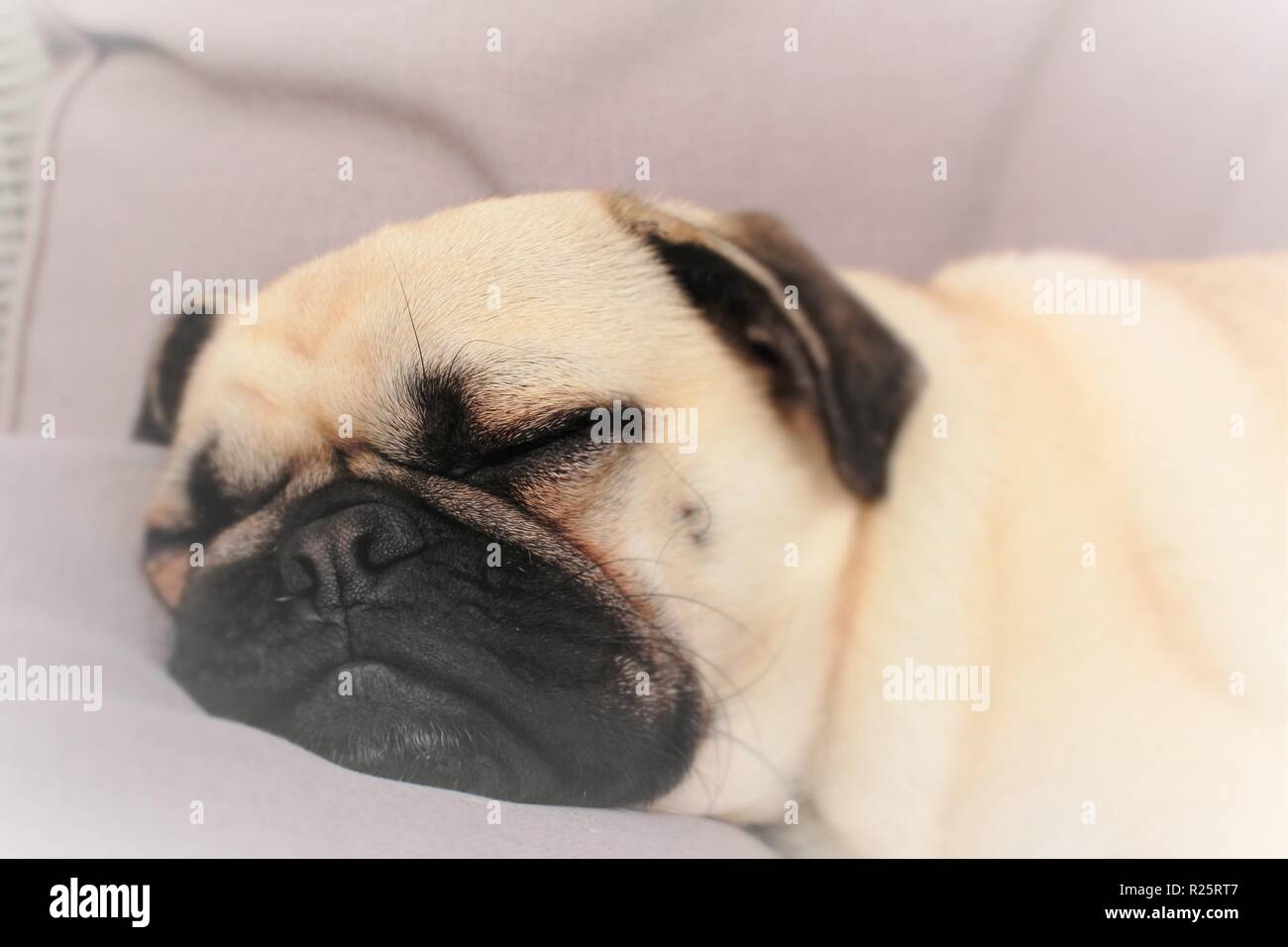 Conceptual photo portraying 'Dreaming',with a one year old, sleeping, male Pug dog used. - Stock Image