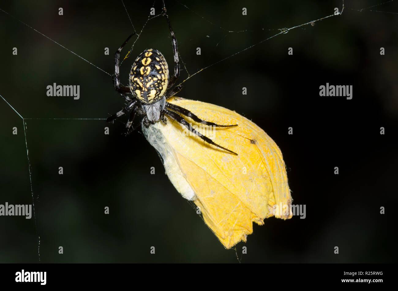 Western Spotted Orbweaver, Neoscona oaxacensis, sulphur butterfly prey - Stock Image