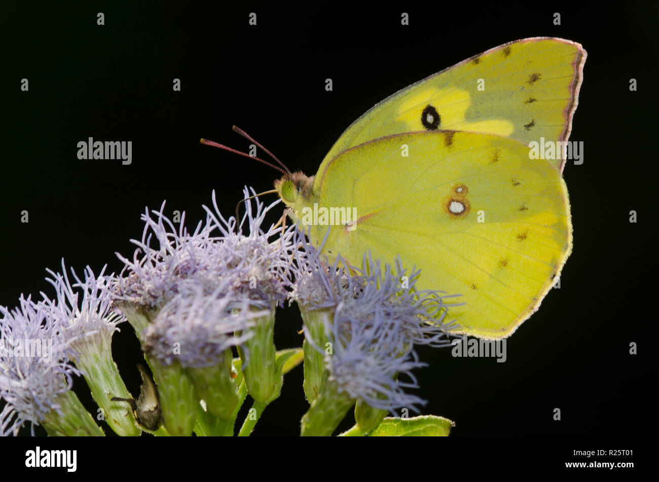 Sưu tập Bộ cánh vảy 3 - Page 16 Southern-dogface-zerene-cesonia-on-mist-flower-conoclinium-sp-back-lit-to-show-dogface-R25T01