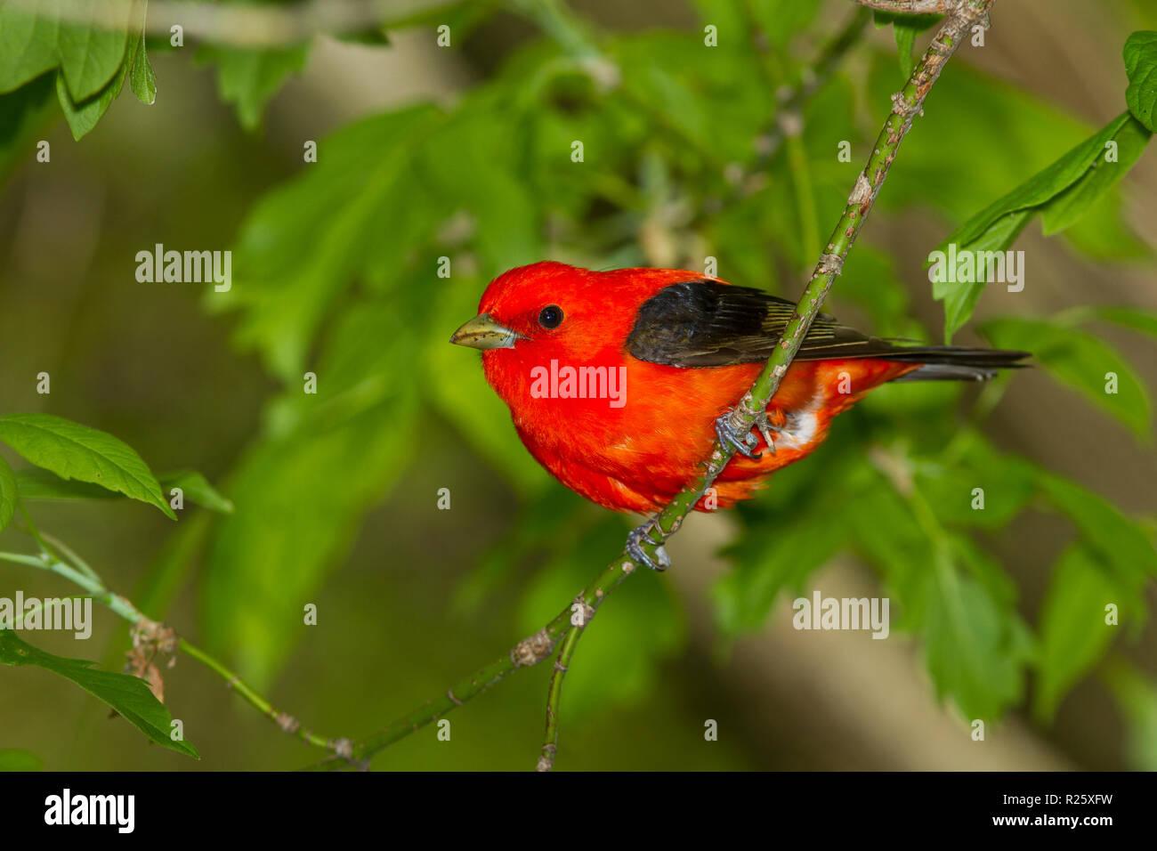 Scarlet Tanager (Piranga olivacea), male, breeding plumage - Stock Image