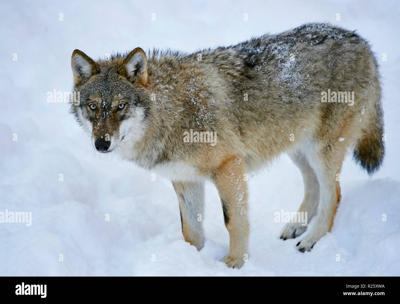 Eurasian wolf (Canis lupus lupus) standing in snow, Bavarian Forest National Park, Bavaria, Germany Stock Photo