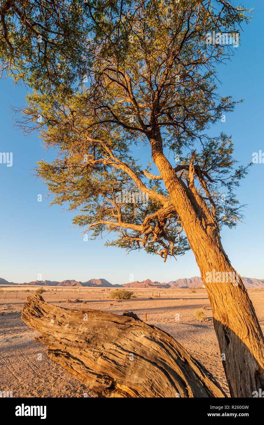 acacia in the sunset with desert and mountains on the background, Sossus Oasis Campsite, Namibia - Stock Image