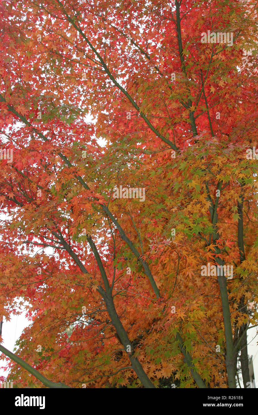Tall trees are resplendent with colorful autumn leaves - Stock Image