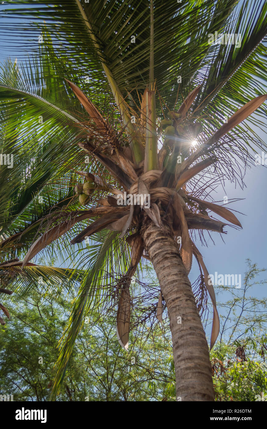 Detailed view of palm trees on the island of Mussulo, Luanda, Angola... - Stock Image