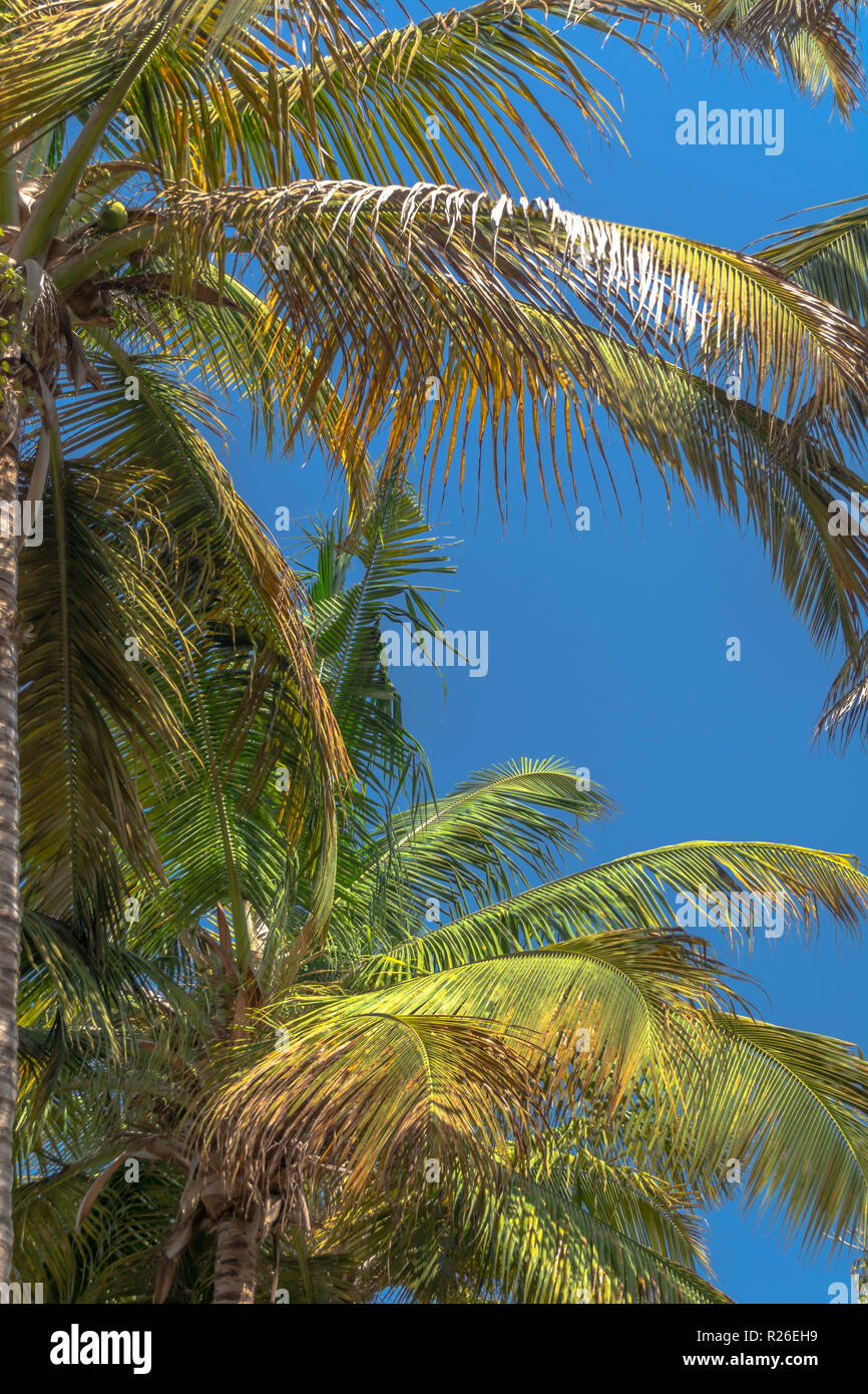 Detailed view of palm trees leafs and sky, on the island of Mussulo, Luanda, Angola... - Stock Image