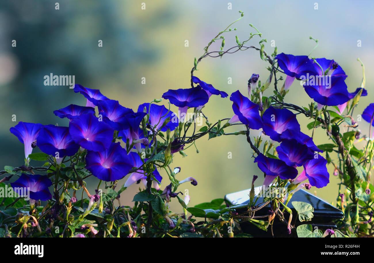 Morning Glories, Blue - Stock Image