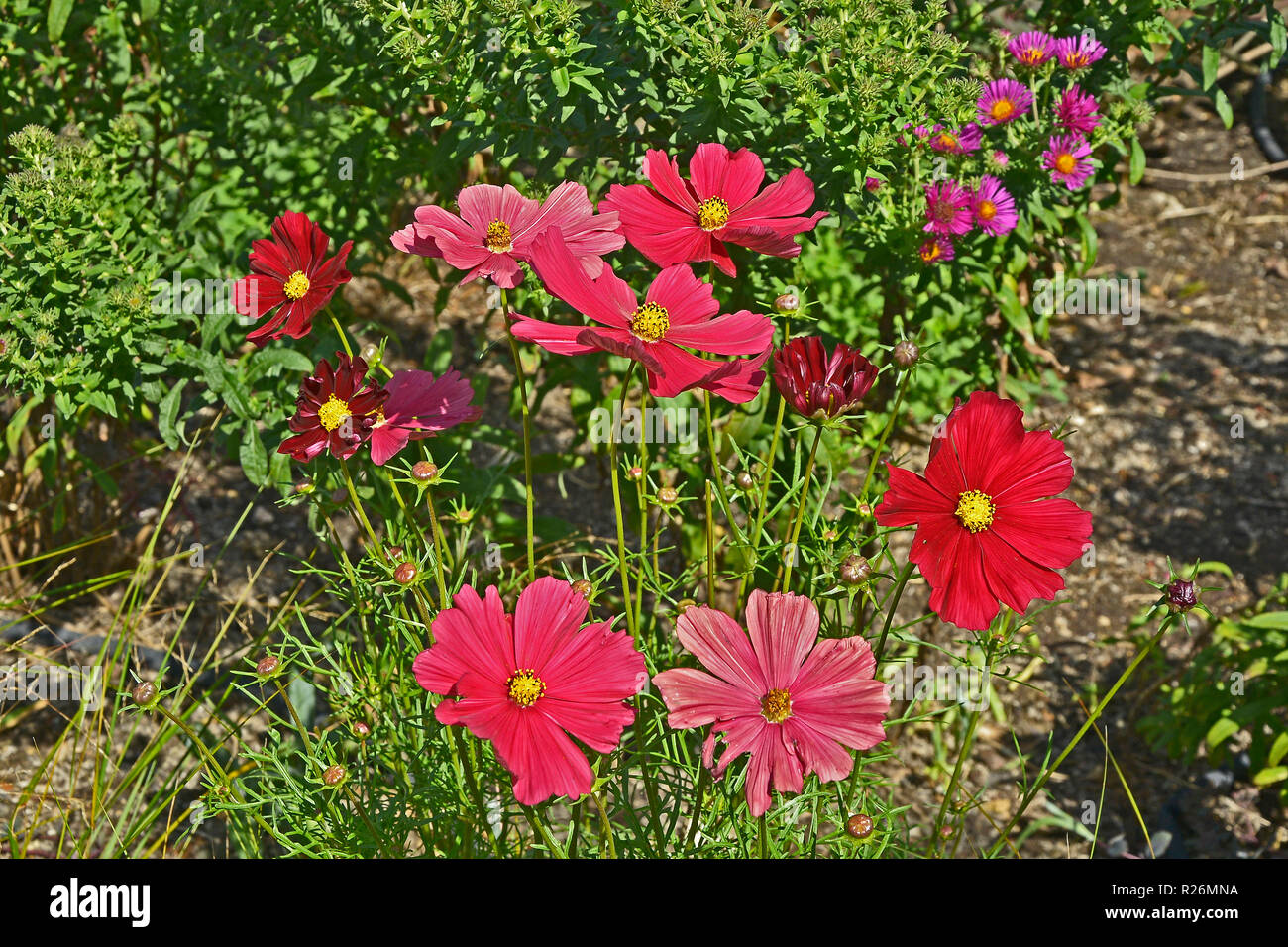 Close up of a flower border with colouful flowering Cosmos 'Rubenza' Stock Photo