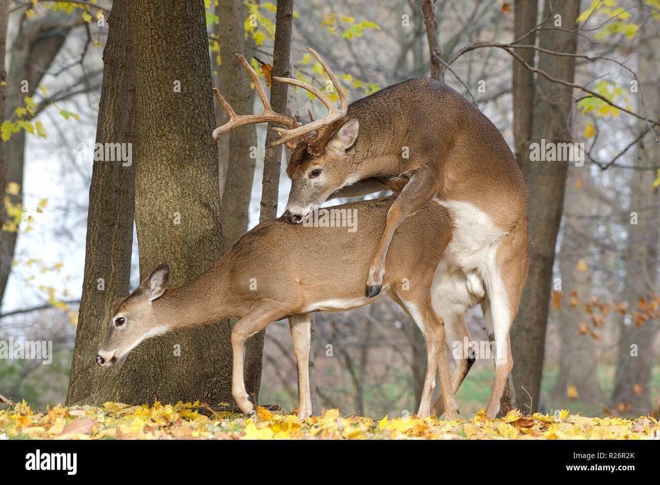 Whitetail deer rut - Stock Image