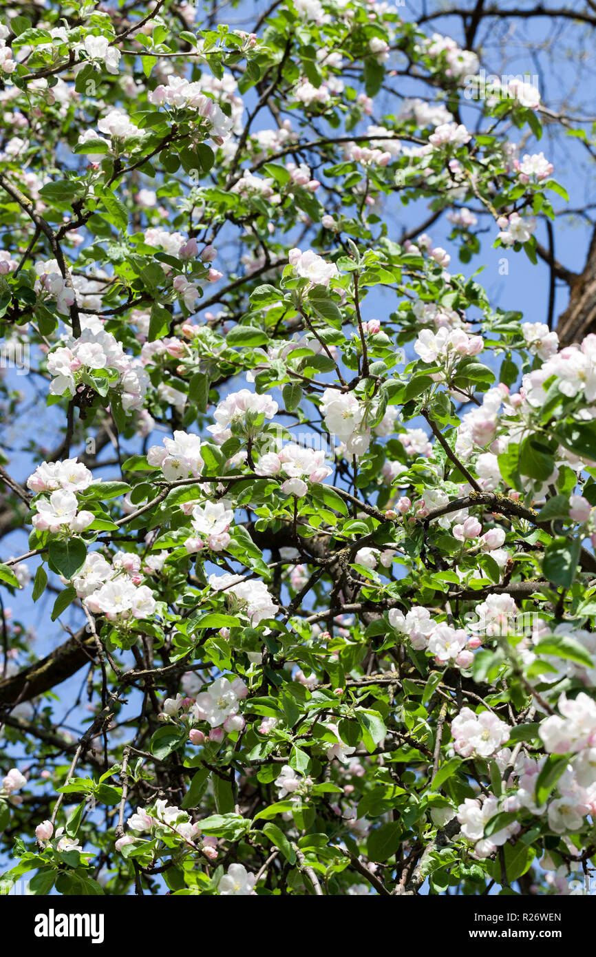 Long Branches With Green Leaves And White Flowers Of Fruit Trees