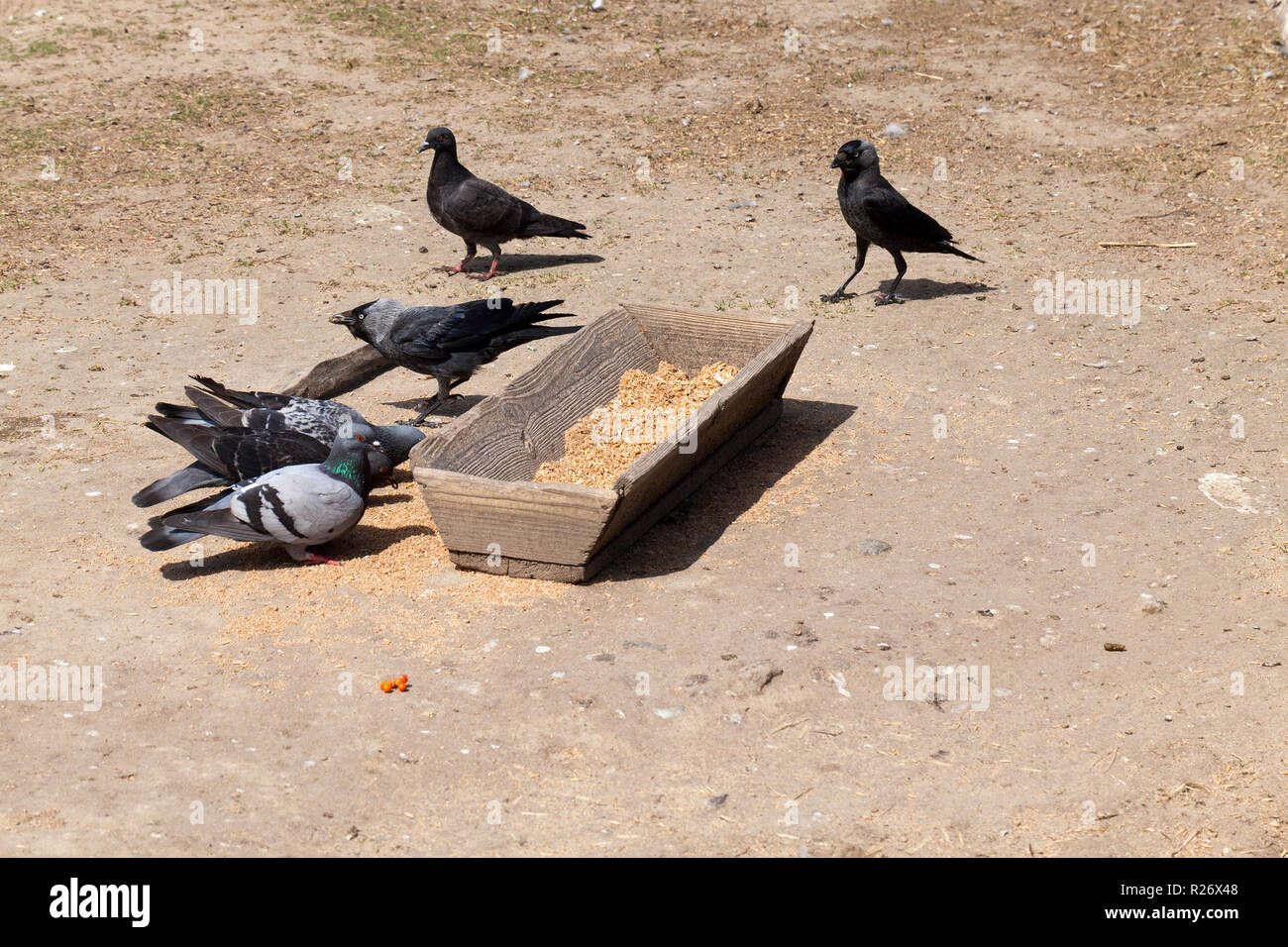 Old Wooden Trough With Grain For Feeding Pigeons Ravens And Other