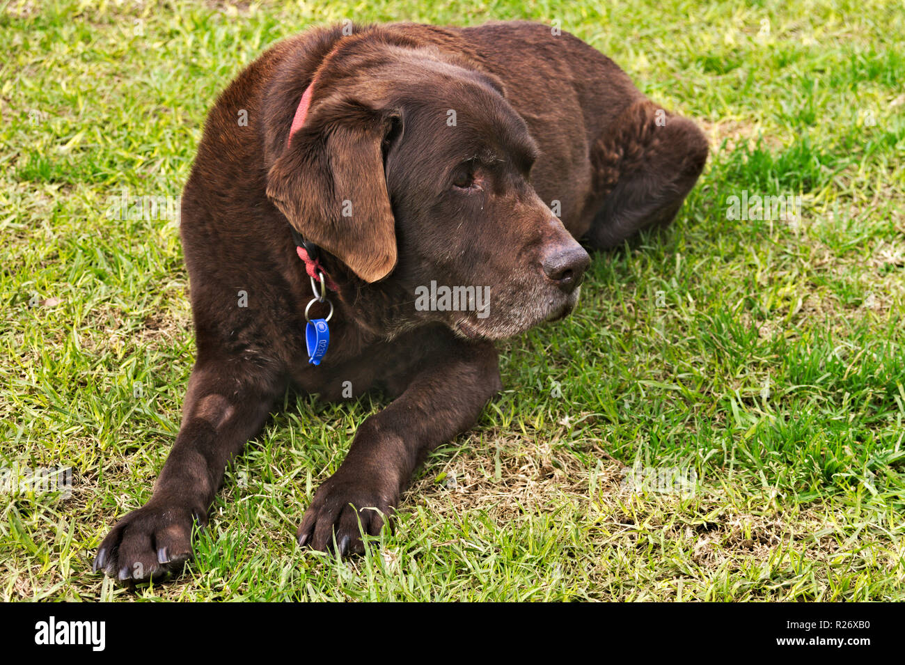 Old chocolate brown labrador retriever dog with collar and tags, lying on grass. Stock Photo