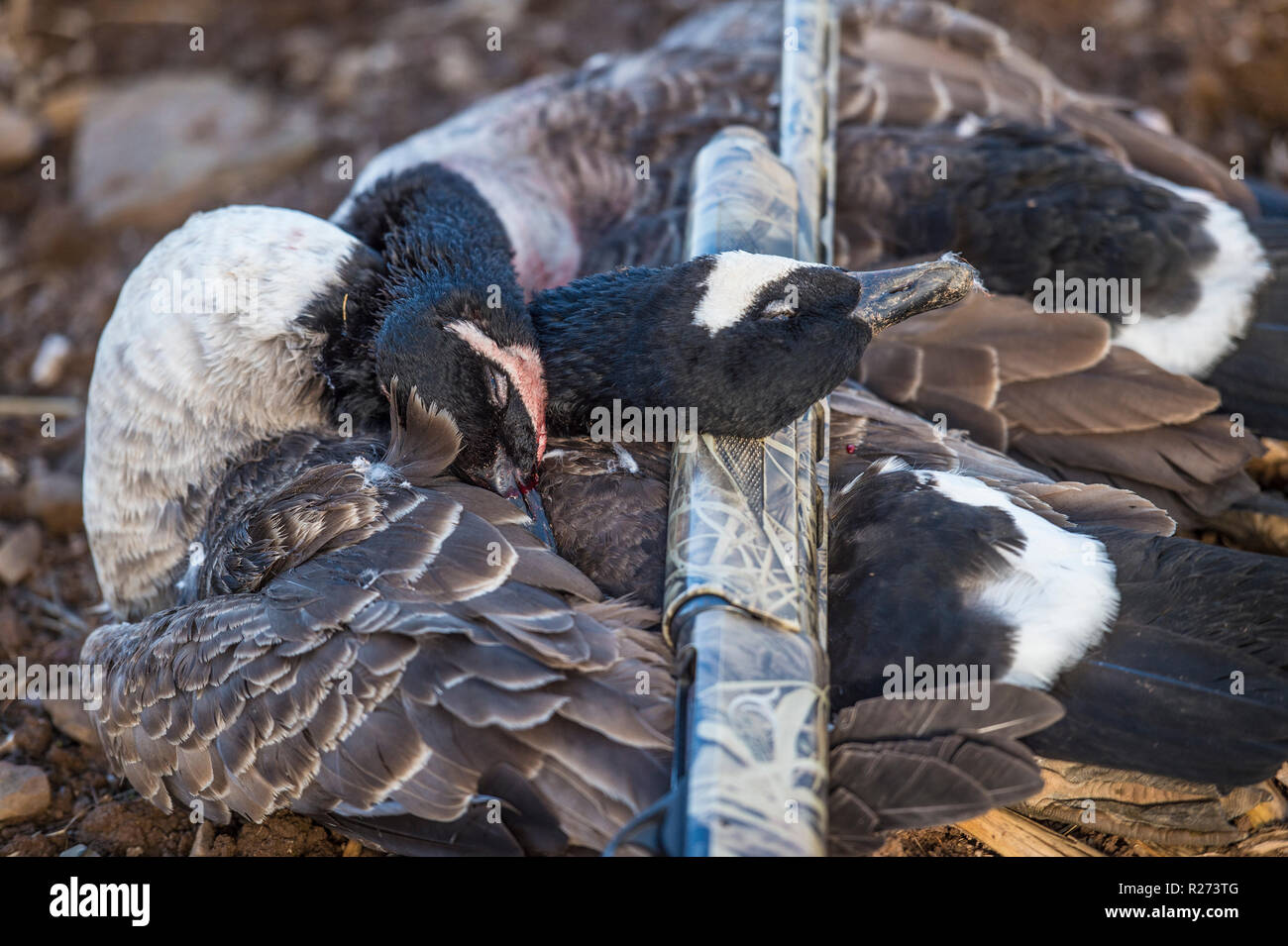 brace of shot canada geese - Stock Image
