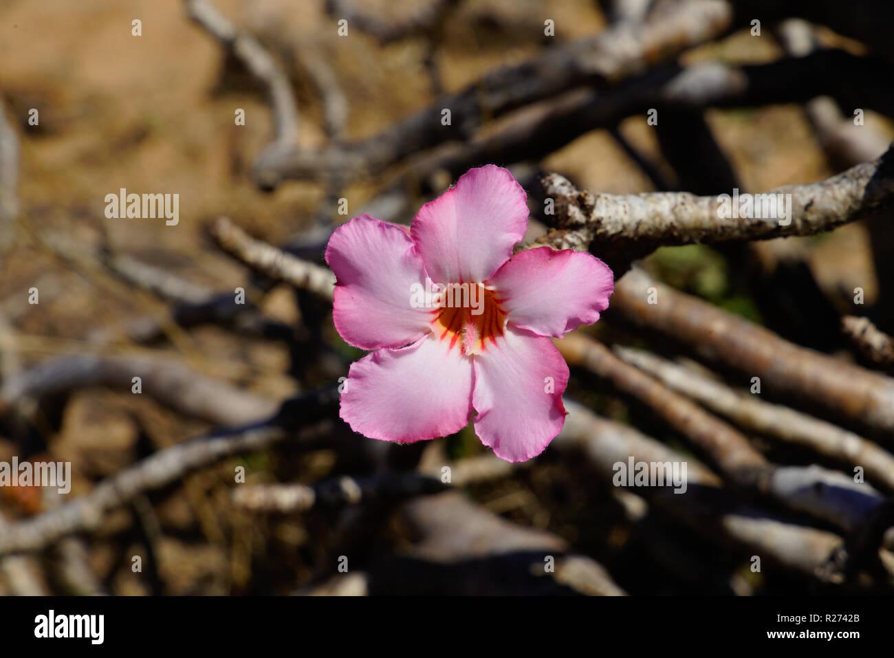 Arabian Desert Flowers Stock Photos & Arabian Desert Flowers Stock