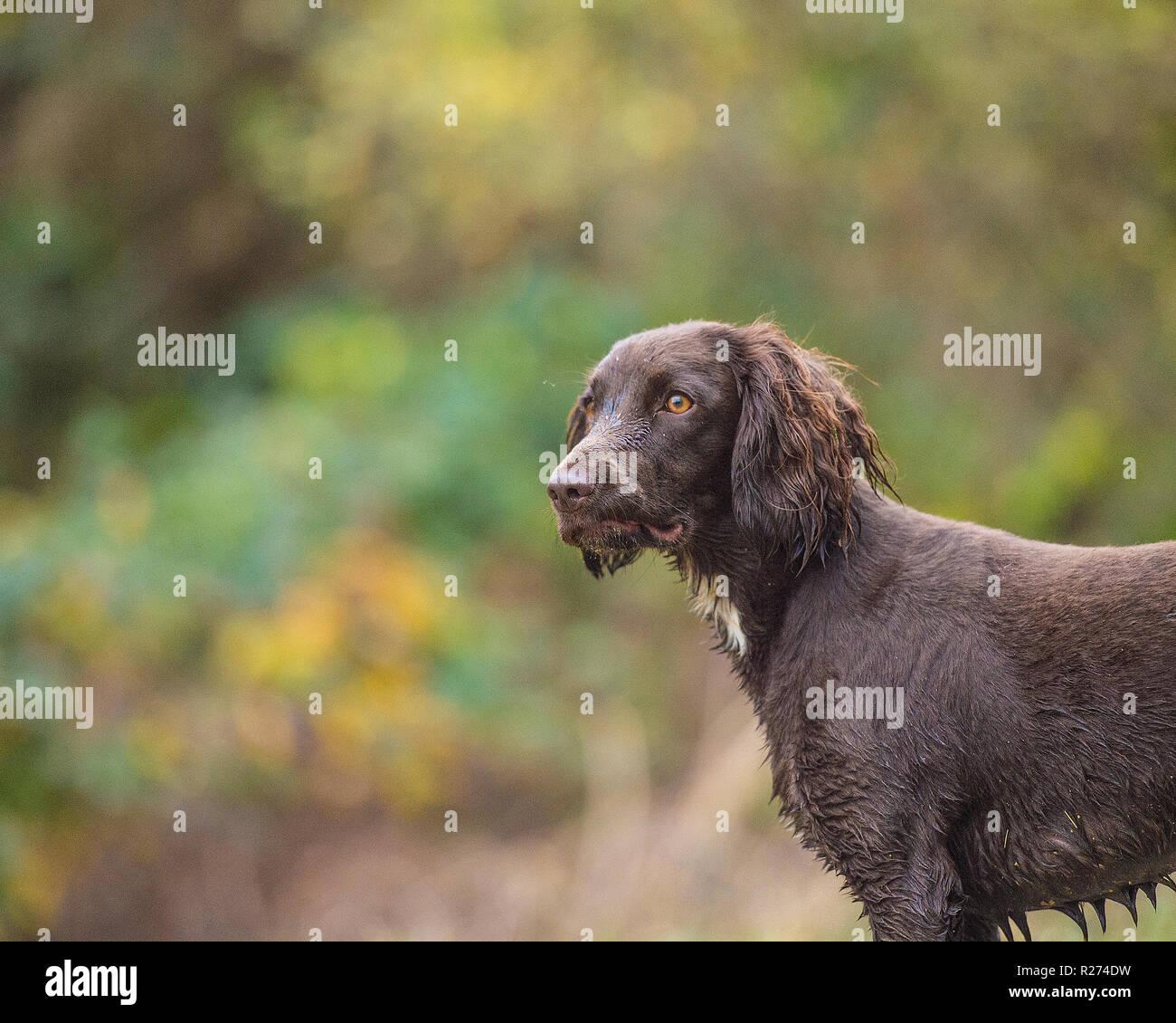 sprocker spaniel - Stock Image