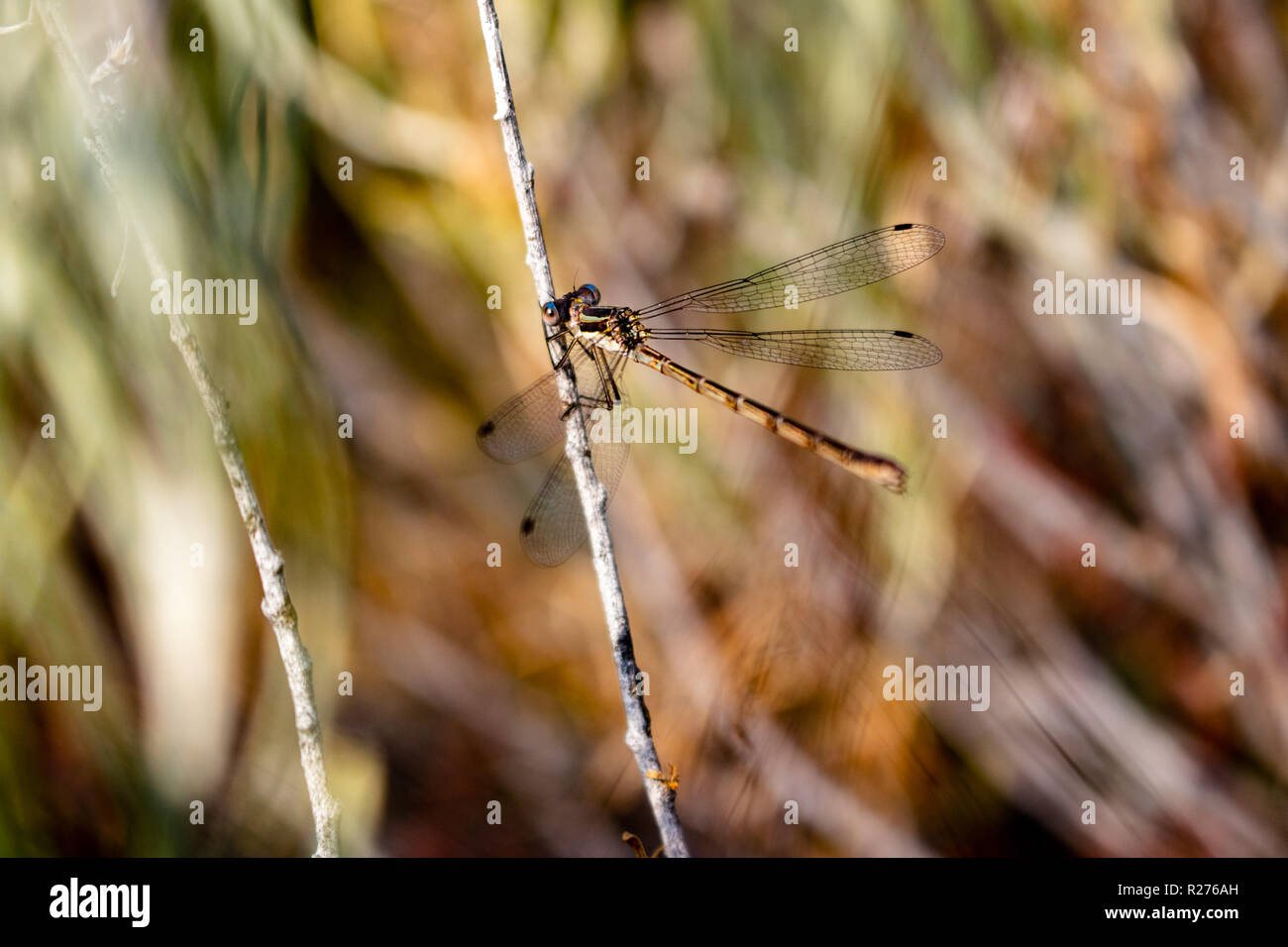 This is a picture of a dragonfly with its wings spread out and its hands holding on to a grayish stem. - Stock Image