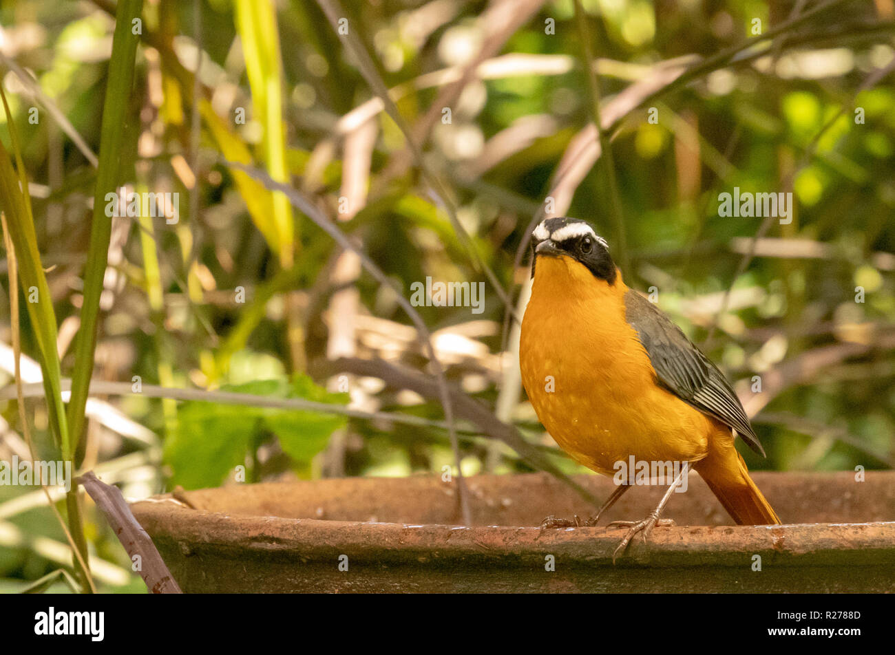The white-browed robin-chat (Cossypha heuglini), also known as Heuglin's robin, Entebbe, Uganda - Stock Image