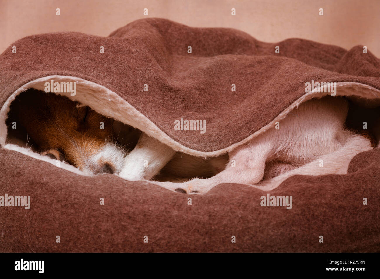 Cute domestic dog sleeps inside cozy hooded pet bed - Stock Image