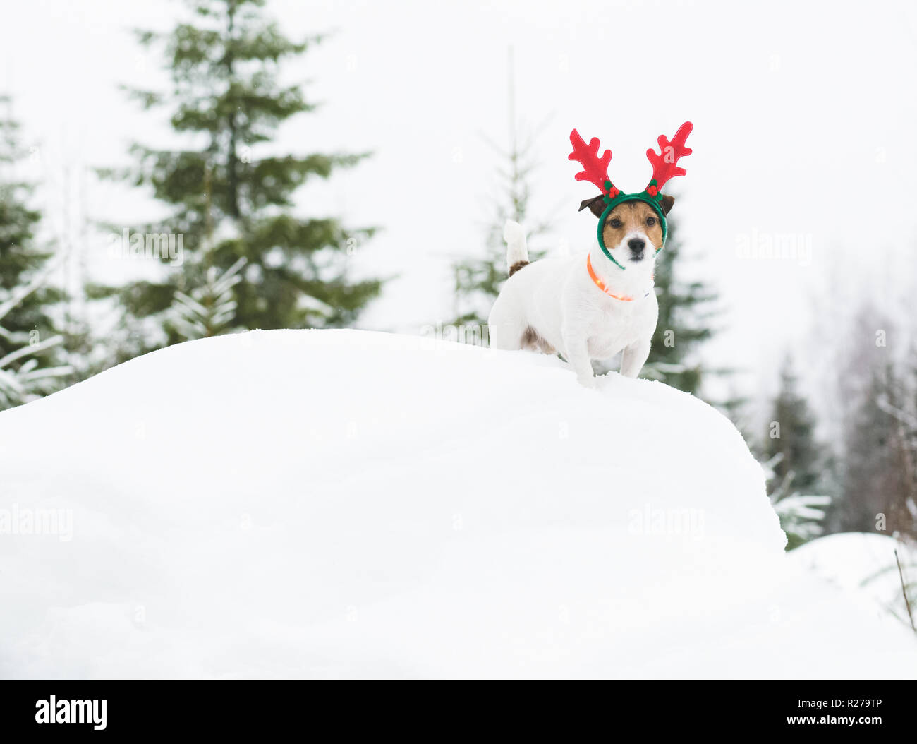 Dog walking in wild nature at  Finish Lapland wearing holiday costume - Stock Image