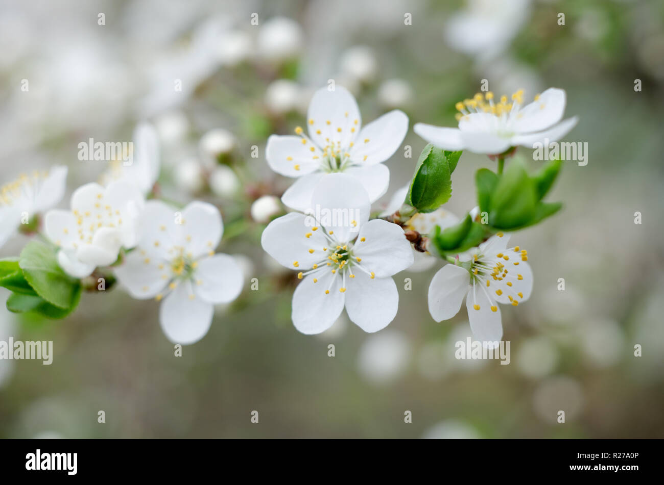 Plum Tree Blossoms White Spring Flowers Close Up Soft Focus Spring