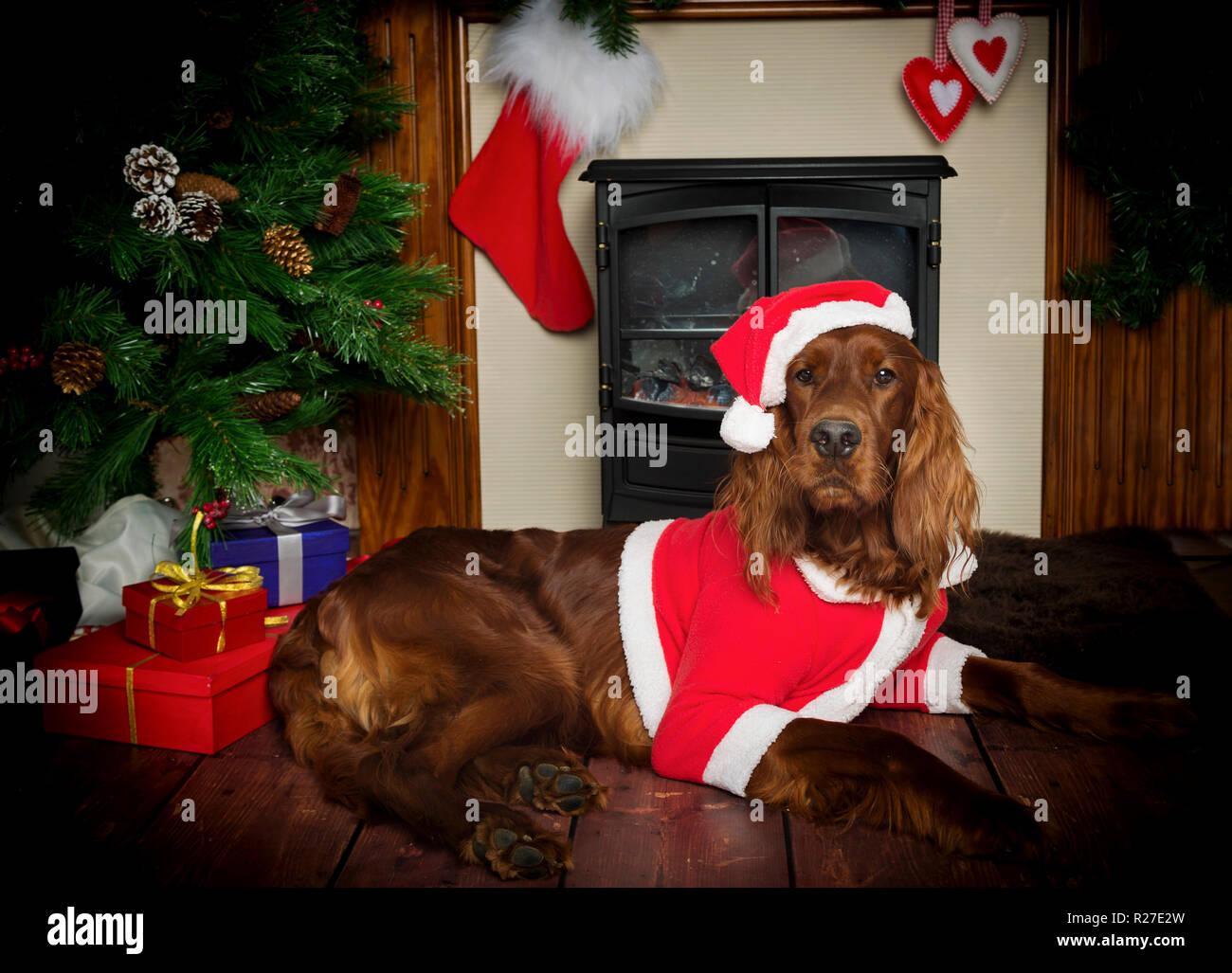 Red Irish Setter Dog in Calendar Themed Studio Pose Stock Photo