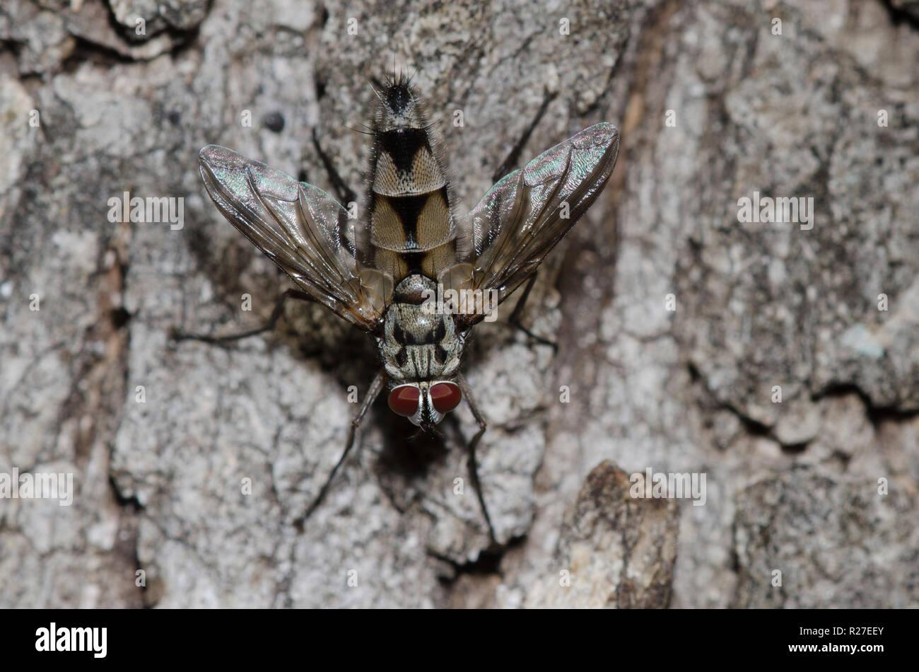 Tachinid Fly, Zelia sp. Stock Photo