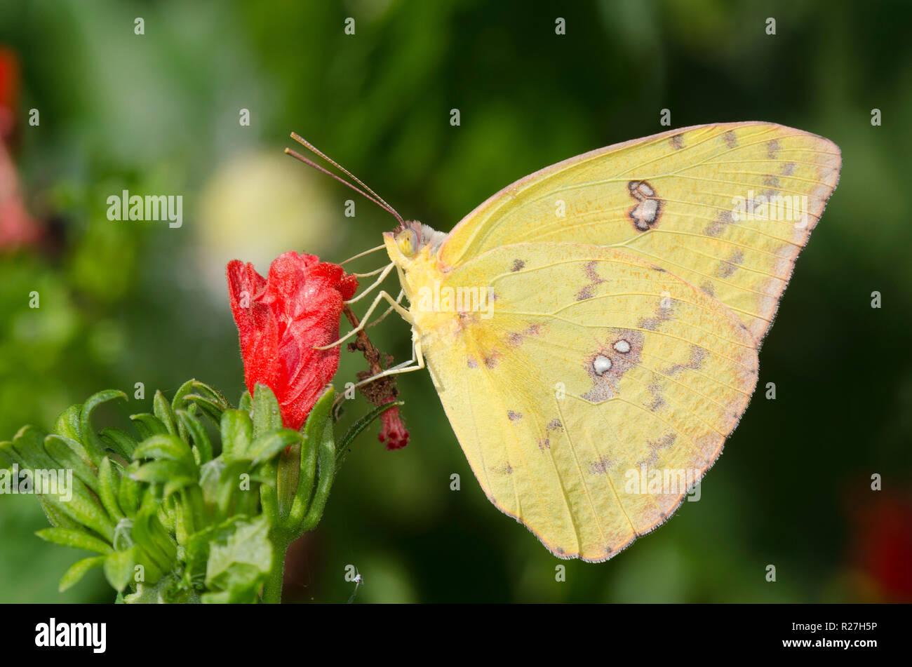 Sưu tập Bộ cánh vảy 3 - Page 18 Cloudless-sulphur-phoebis-sennae-female-on-turks-cap-malvaviscus-drummondii-R27H5P