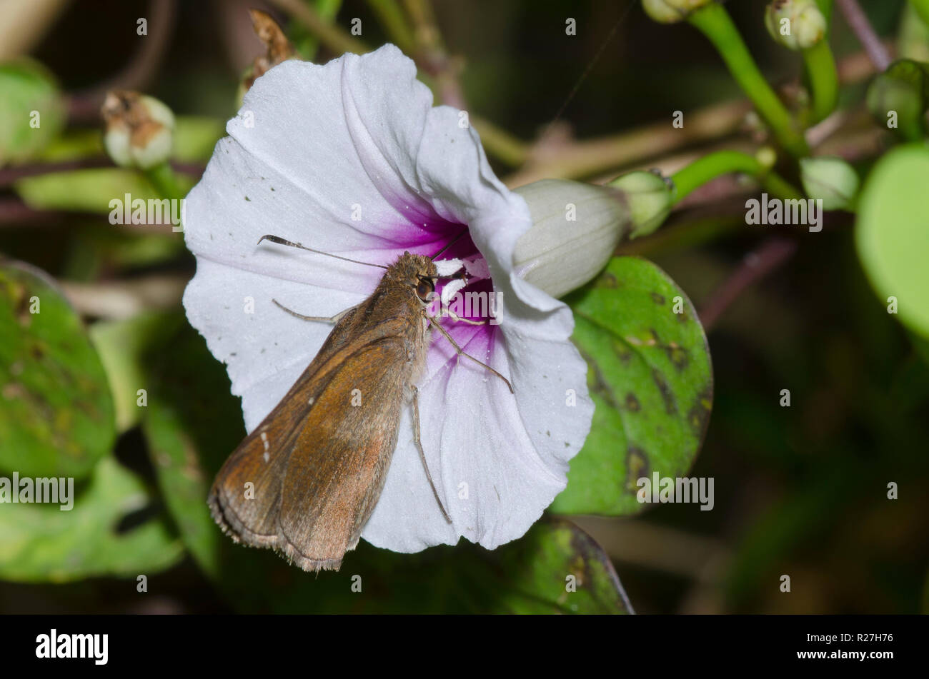 Clouded Skipper, Lerema accius, female on Red-center Morning Glory, Ipomoea amnicola - Stock Image