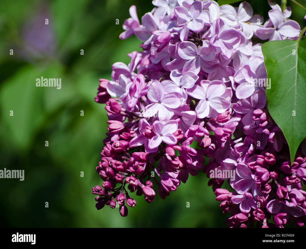 3648f860c04 Floral border with beautiful purple lilac blooming in the sunny day.  Romantic banner with flowers and bokeh background