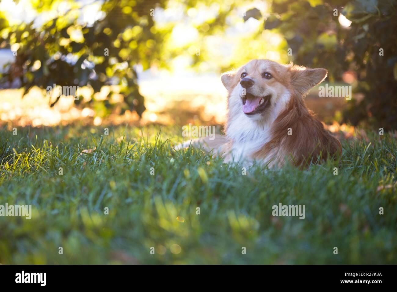 beautiful corgi fluffy close up portrait at the outdoor. autumn - Stock Image