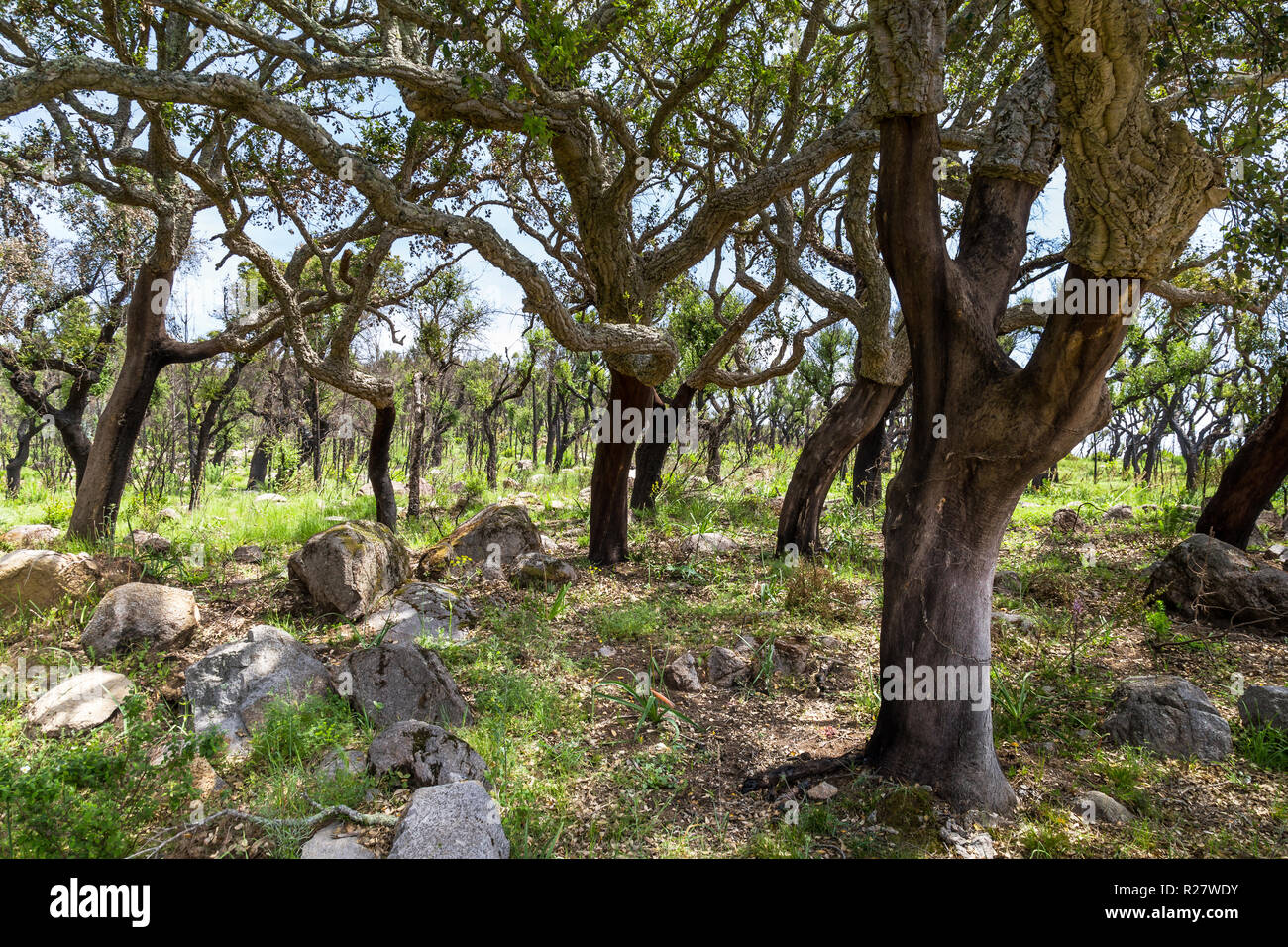 Cork tree in Monchique mountains in the Algarve in Portugal - Stock Image