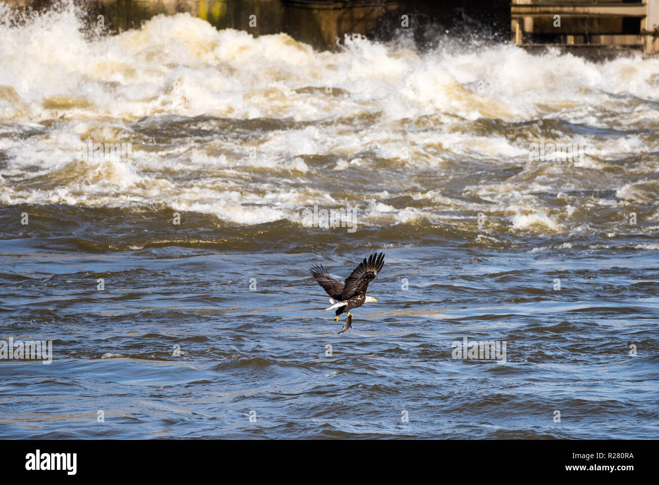 Mature Bald Eagle flying over the water with a just caught fish in his claws at the Conowingo Dam in Maryland Stock Photo
