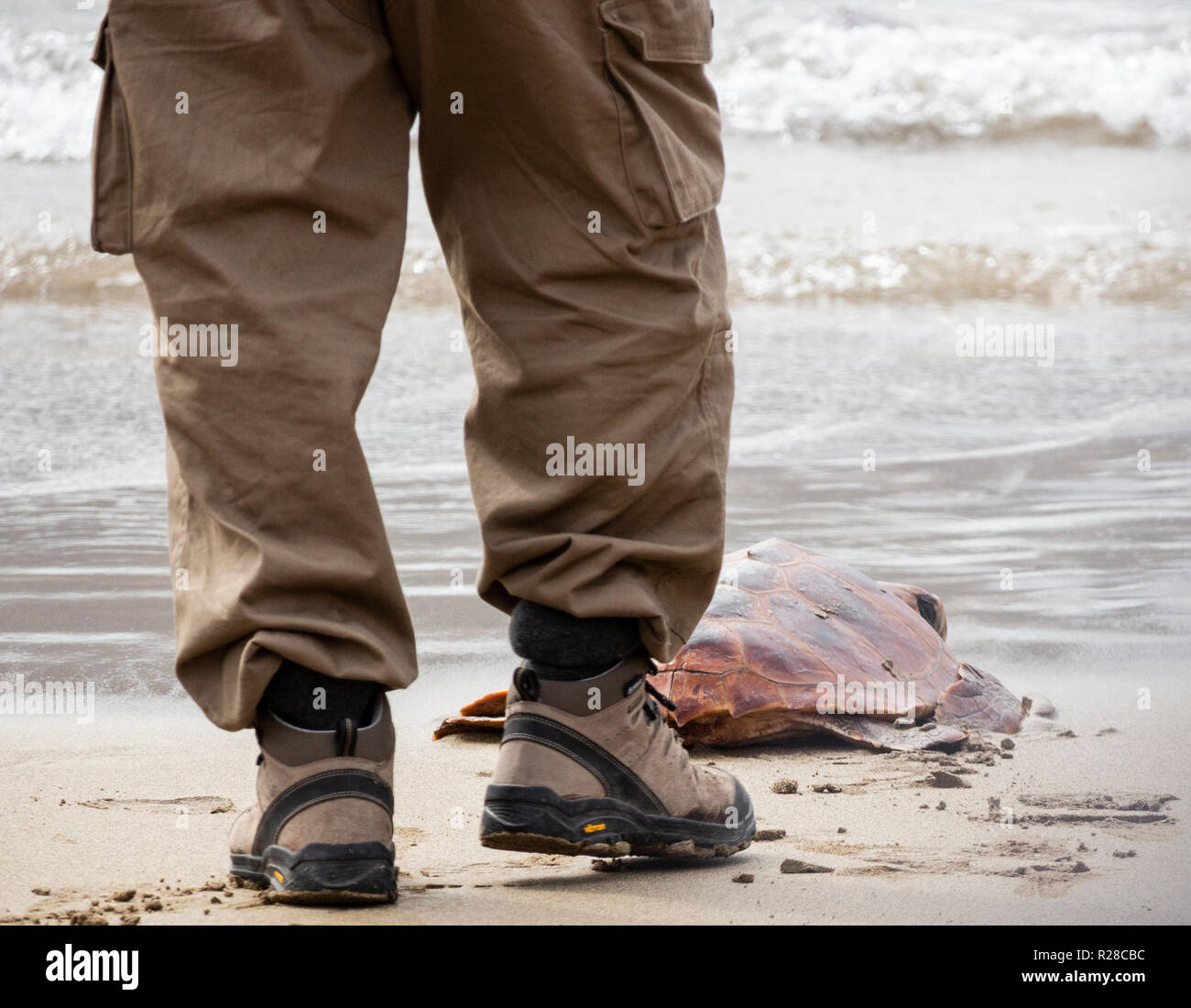 Las Palmas, Gran Canaria, Canary Islands, Spain. 17th November 2018. Following a spell of rehabilitation in the local rescue centre, Turtles are released back into the Atlantic ocean from the city beach in Las Palmas on Gran Canaria. Credit: ALAN DAWSON/Alamy Live News - Stock Image