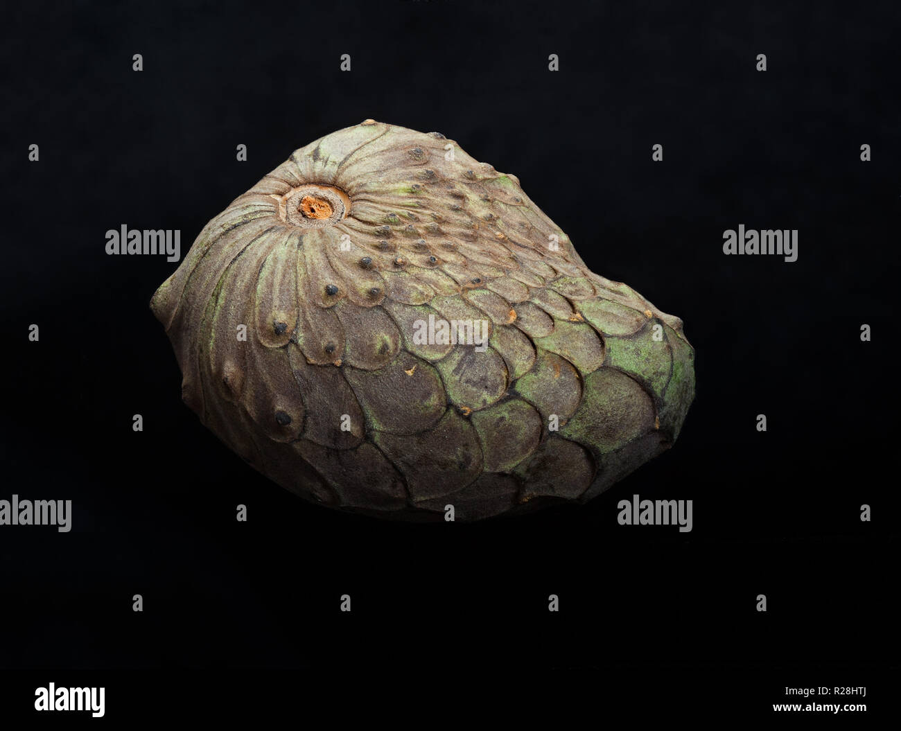 Close up of a Cherimoya fruit on a black background. - Stock Image