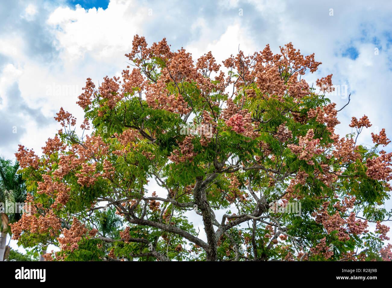 Chinese Golden Rain Tree Koelreuteria bipinnata seeds Chinese Flame Tree