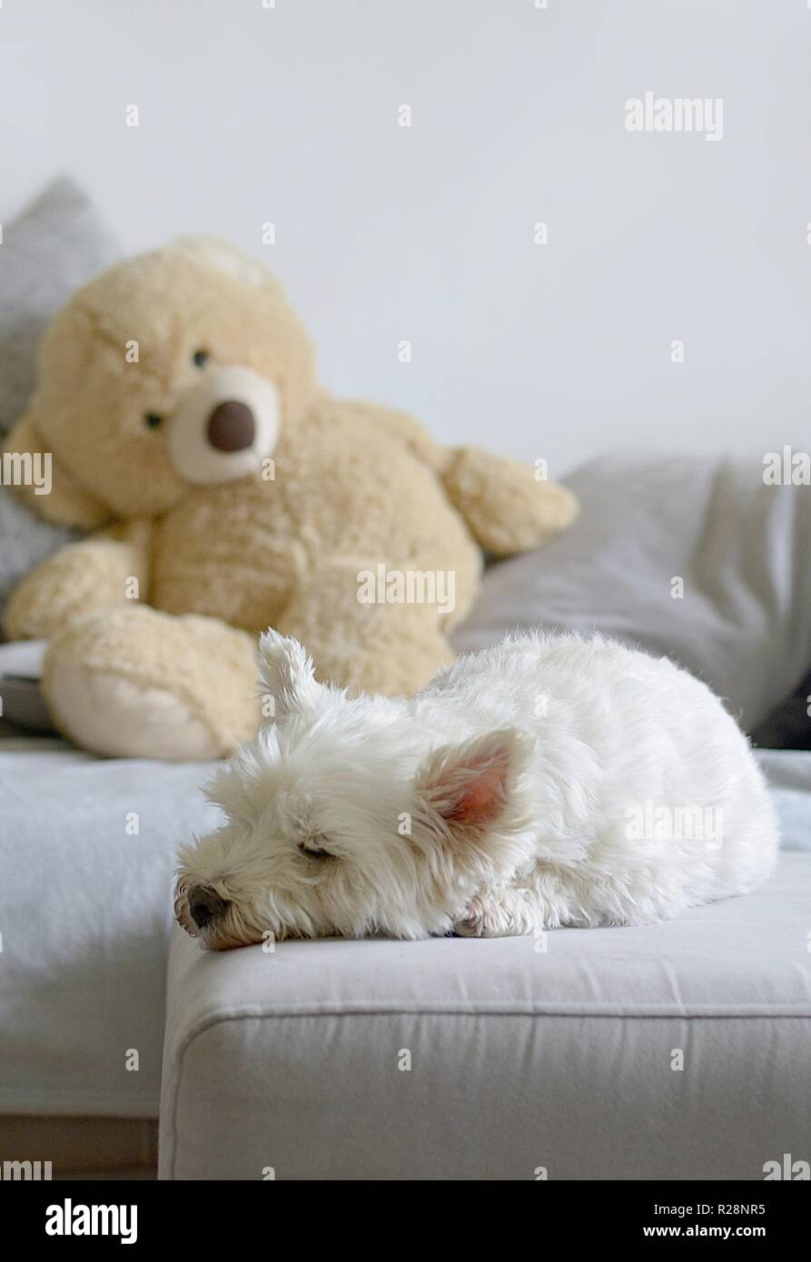 white dog sleeping on a sofa - Stock Image