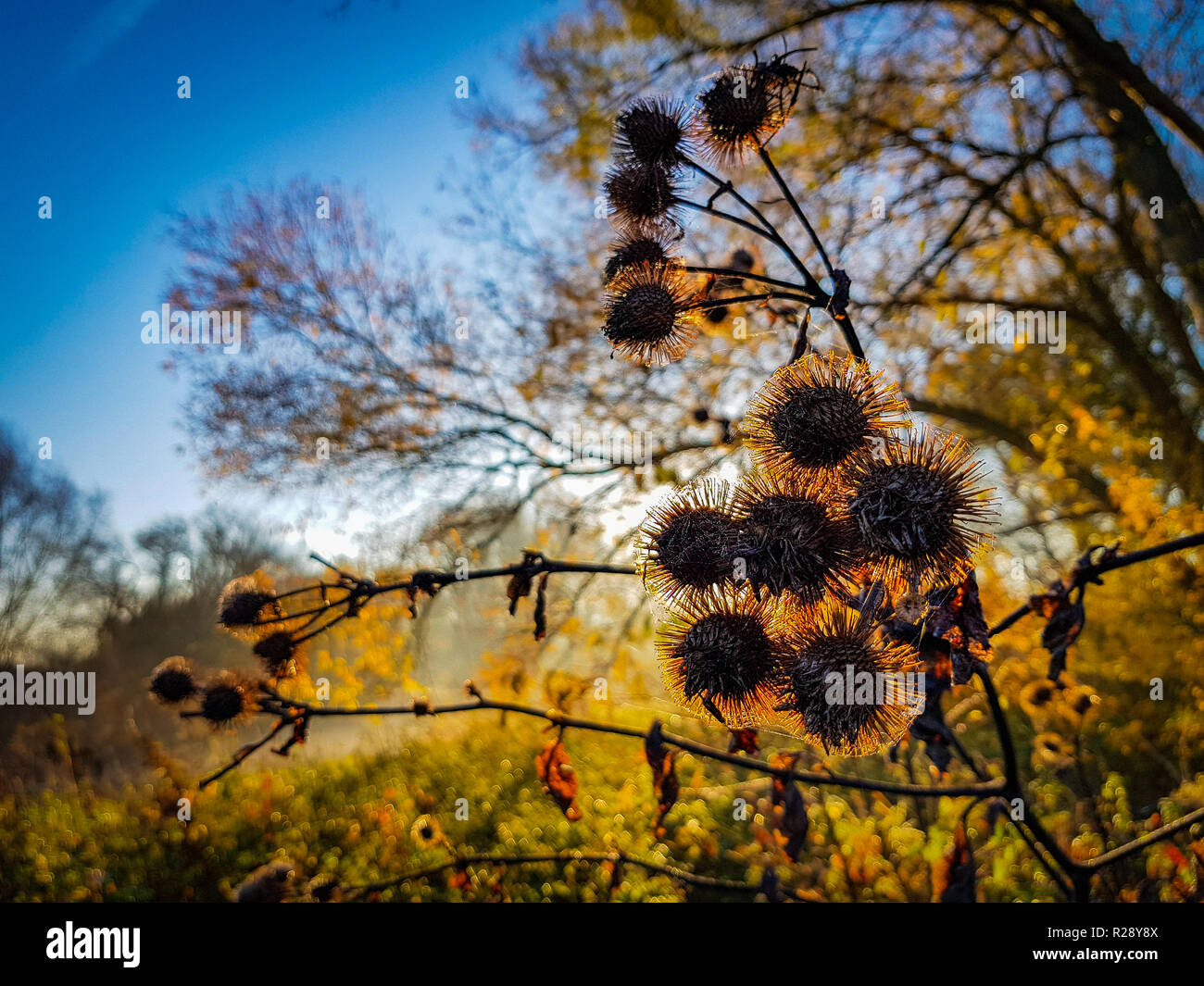 Close of up dried flowers during sunrise before a colorful background Stock Photo