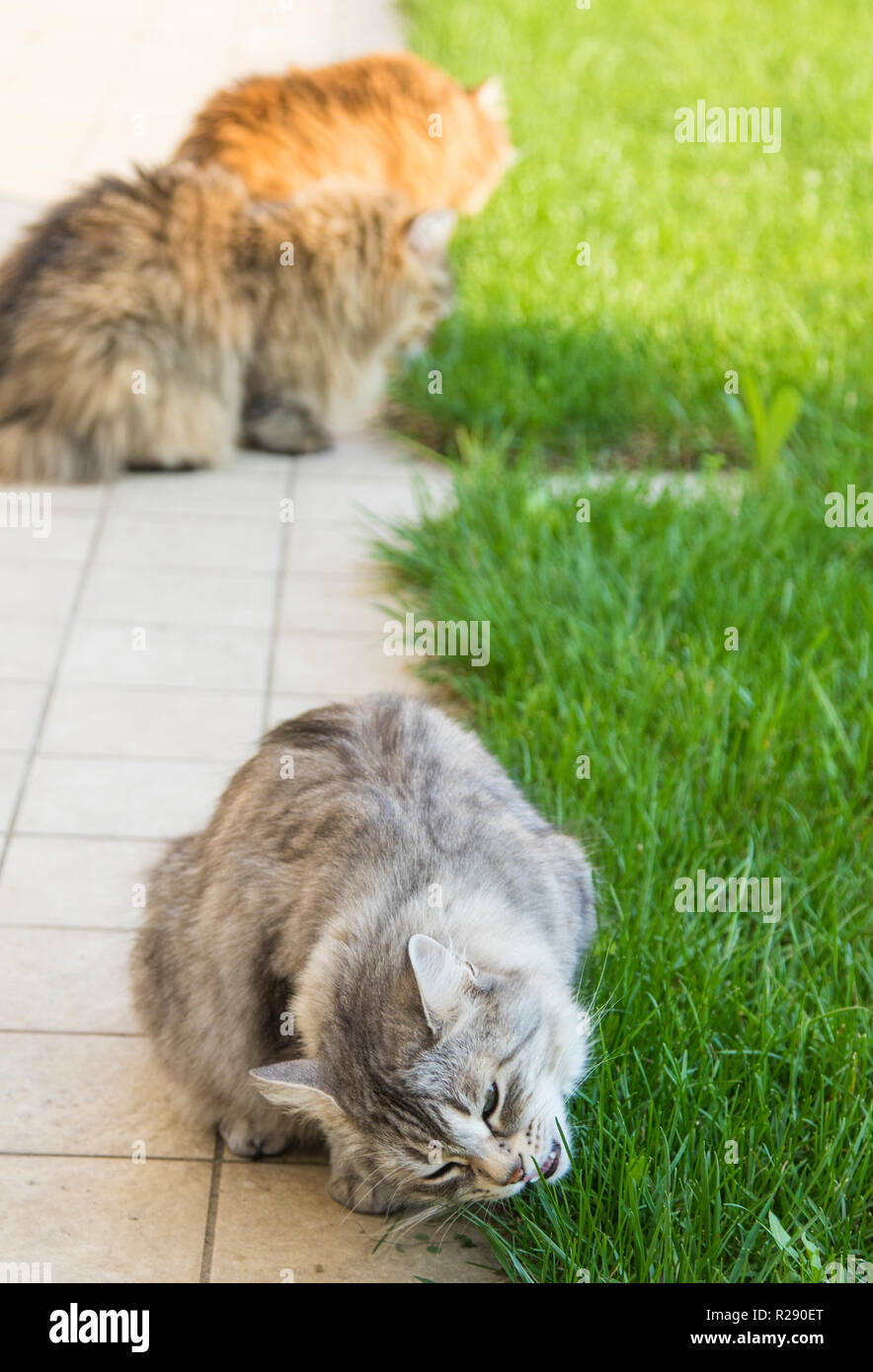 Adorable fluffy cats in a garden, siberian pets of livestock - Stock Image