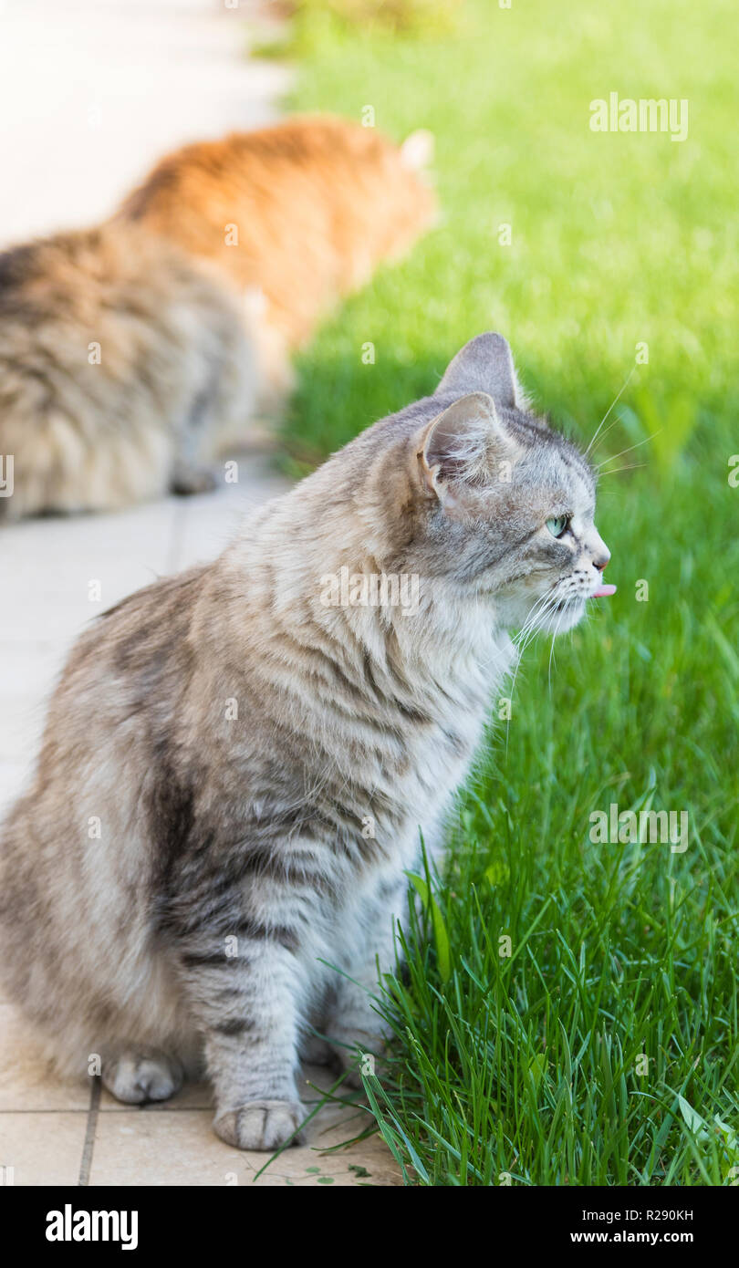 Domestic fluffy cats in the garden,siberian breed - Stock Image