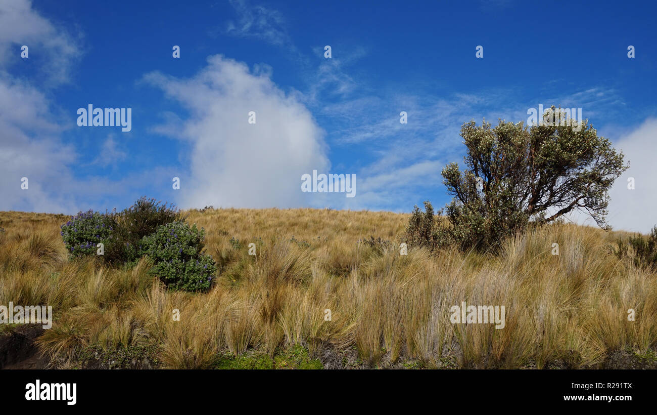 Landscape view of moor on a sunny day with a polylepis tree - Stock Image