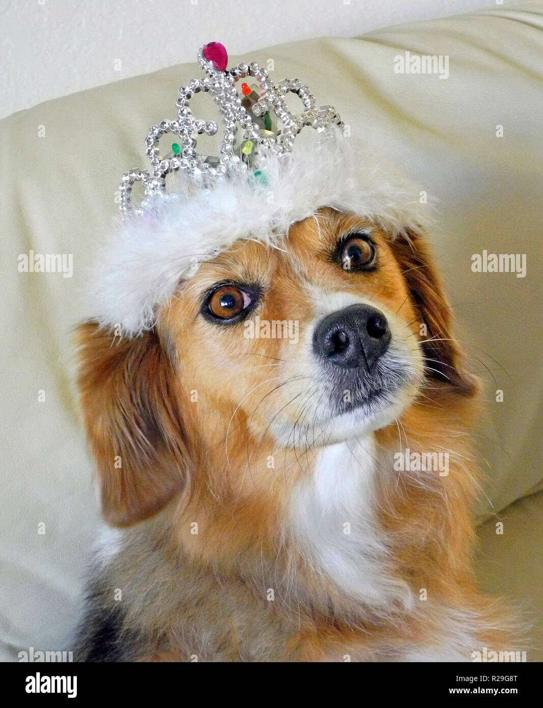 A bejeweled tiara signifies that this regal female dog has been crowned queen of the family couch. - Stock Image
