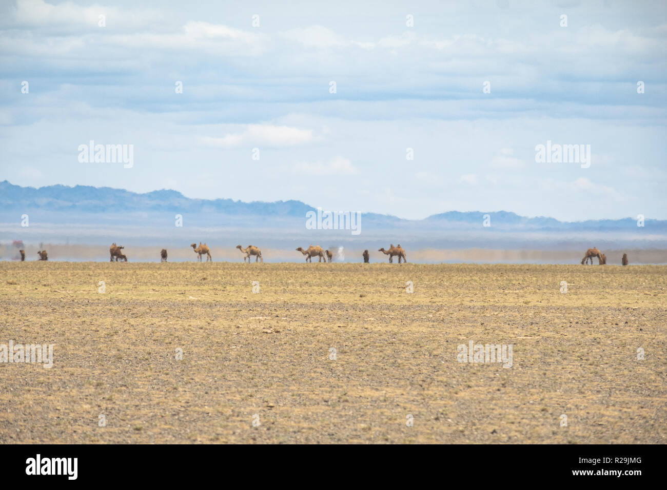 Bactrian camels on the move in the vast Gobi desert landscape with an inferior mirage in the background. - Stock Image