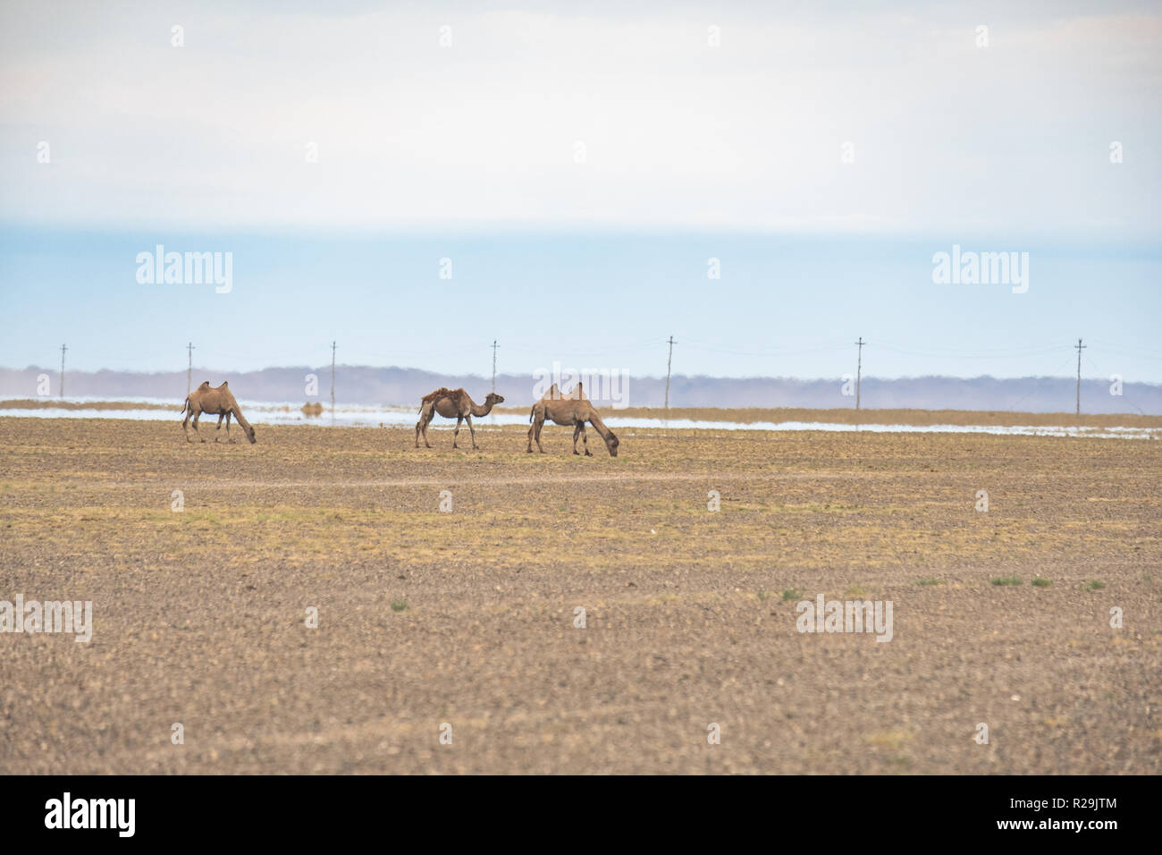 Bactrian camels grazing in the vast Gobi desert landscape with an inferior mirage in the background from the summer heat. - Stock Image