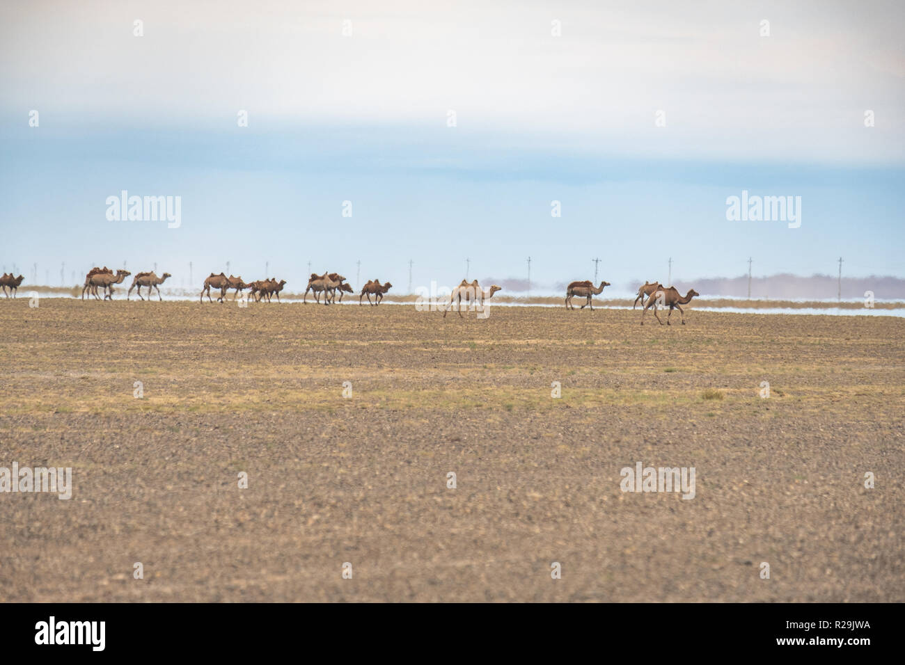 Herd of Bactrian camels on the move with an inferior mirage in the background in the vast Gobi desert landscape. - Stock Image